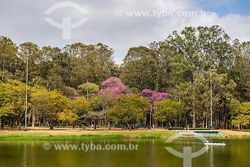 Ipê Rosa (Tabebuia heptaphylla) às margens do Lago do Ibirapuera - Parque do Ibirapuera  - São Paulo - São Paulo (SP) - Brasil