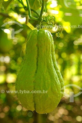 Detalhe de plantação de chuchu (Sechium edule)  - Jales - São Paulo (SP) - Brasil
