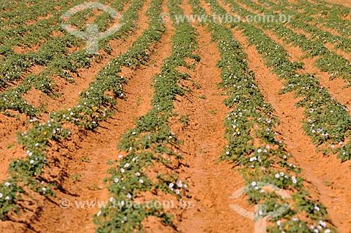 Plantação de Batata Doce  - Planalto - São Paulo (SP) - Brasil