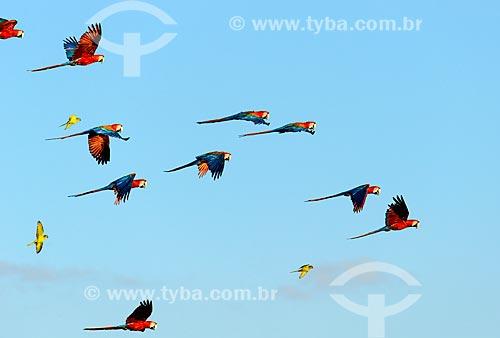 Arara-vermelha (Ara chloropterus) - também conhecida como araracanga ou arara-macau - voando próximo à Reserva Particular do Patrimônio Natural Buraco das Araras  - Jardim - Mato Grosso do Sul (MS) - Brasil
