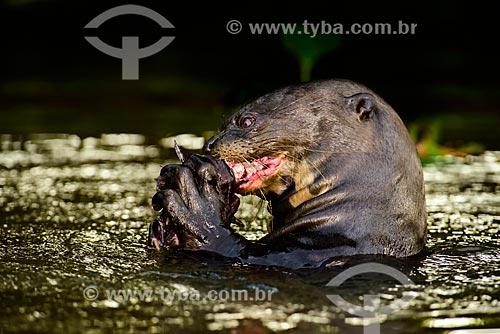 Ariranha (Pteronura brasiliensis) - também conhecida como onça-dágua, lontra-gigante ou lobo-do-rio - comendo  - Poconé - Mato Grosso (MT) - Brasil