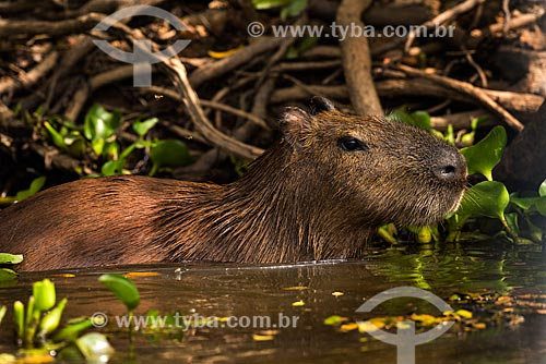 Detail of capybara (Hydrochoerus hydrochaeris)  - Pocone city - Mato Grosso state (MT) - Brazil