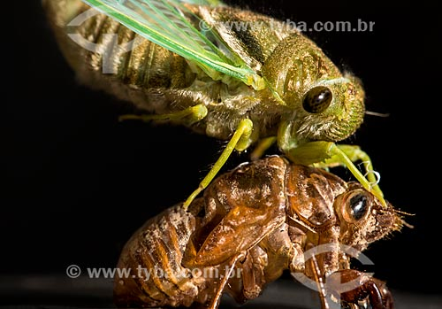 Detail of cicada changing the exoskeleton  - Mato Grosso state (MT) - Brazil