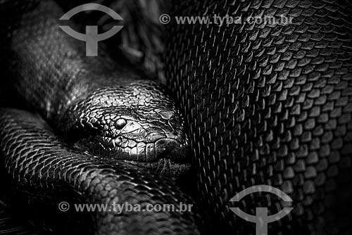 Detalhe de sucuri (Eunectes murinus) no Parque Nacional das Emas  - Mato Grosso (MT) - Brasil
