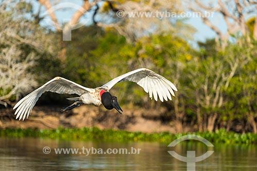Jabiru (Jabiru mycteria) - Pantanal  - Pocone city - Mato Grosso state (MT) - Brazil