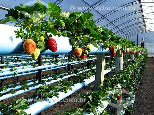 Detalhe de morangos maduros e ainda não maduros em estufa de plantação hidropônica  - Caxias do Sul - Rio Grande do Sul (RS) - Brasil