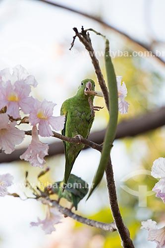 Periquito-de-encontro-amarelo (Brotogeris chiriri) se alimentando da flor do ipê rosa (Tabebuia heptaphylla)  - Goiás - Goiás (GO) - Brasil