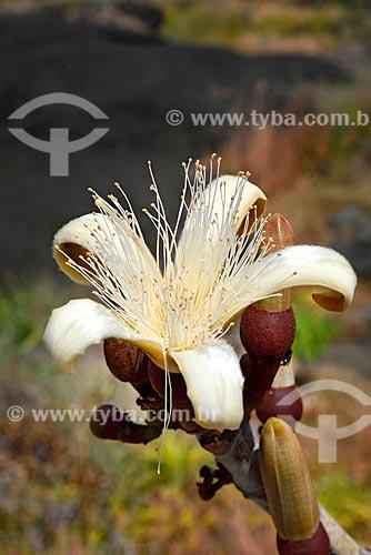 Detalhe de flor do imbiriçu (Pseudobombax longiflorum) no Parque Nacional da Chapada dos Veadeiros  - Alto Paraíso de Goiás - Goiás (GO) - Brasil