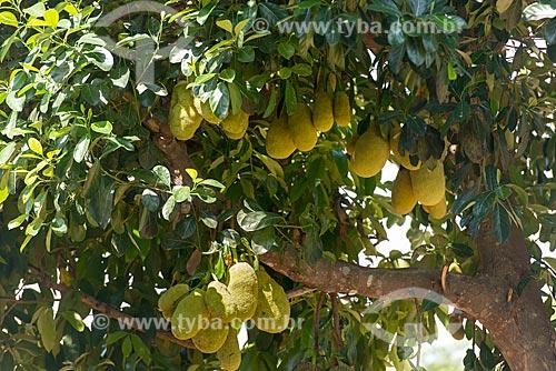 Jaca ainda na jaqueira (Artocarpus heterophyllus)  - São Félix do Xingu - Pará (PA) - Brasil