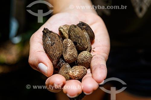 Detalhe do fruto de dendê  - Cairu - Bahia (BA) - Brasil