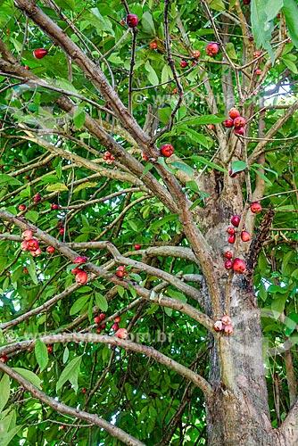 Jambo ainda no jambeiro (Syzygium jambos) - Vila de Velha Boipeba  - Cairu - Bahia (BA) - Brasil