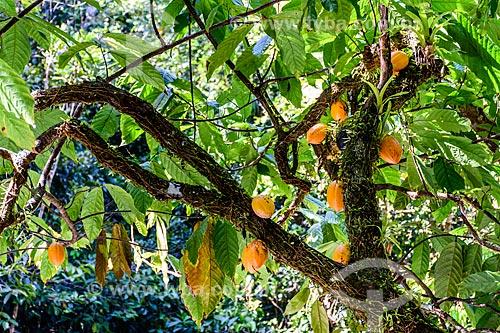Detalhe de cacaueiro (Theobroma cacao)  - Itacaré - Bahia (BA) - Brasil