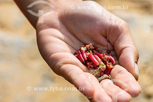 Detalhe de cravo-da-índia (Syzygium aromaticum)  - Itacaré - Bahia (BA) - Brasil