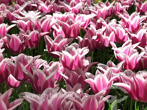 Flores do Parque Keukenhof  - Lisse - Holanda do Sul - Holanda