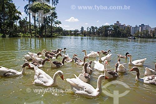 Ganso às margens do Lago de São Lourenço no Parque das Águas São Lourenço  - São Lourenço - Minas Gerais (MG) - Brasil