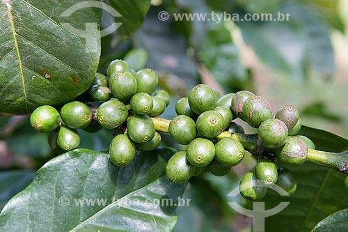 Detalhe de plantação de café na Fazenda Serra Azul  - Carmo de Minas - Minas Gerais (MG) - Brasil