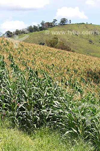 Plantação de milho na Fazenda Serra Azul  - Carmo de Minas - Minas Gerais (MG) - Brasil