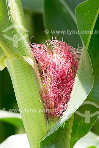 Detalhe de cabelo de milho na Fazenda Serra Azul  - Carmo de Minas - Minas Gerais (MG) - Brasil