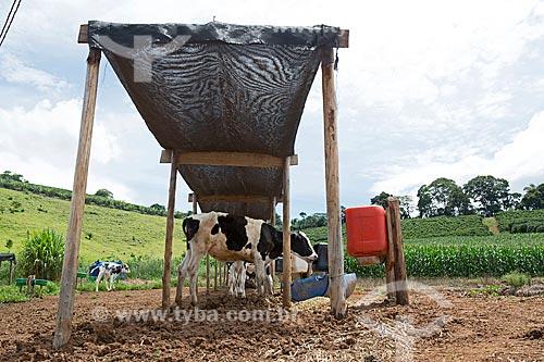 Bezerro de Holstein-Frísia - também conhecido como Gado Holandês - comendo no cocho coberto protegidos do sol  - Carmo de Minas - Minas Gerais (MG) - Brasil