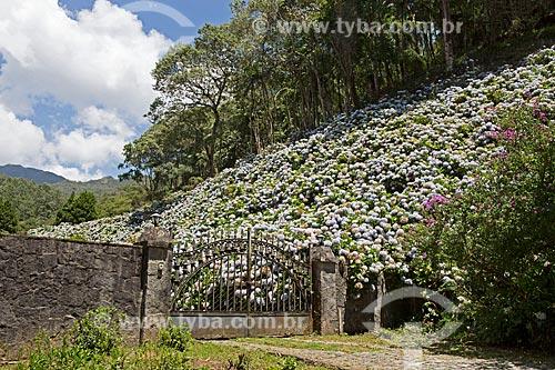 Hortênsias (Hydrangea macrophylla) às margens do km 6 da Rodovia BR-354 próximo ao Parque Nacional de Itatiaia  - Itatiaia - Rio de Janeiro (RJ) - Brasil