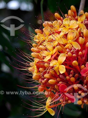 Detalhe da flor da açoca (Saraca indica) no Jardim Botânico do Rio de Janeiro  - Rio de Janeiro - Rio de Janeiro (RJ) - Brasil