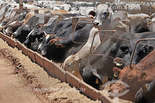 Detalhe de gado criado no sistema de confinamento  - Barretos - São Paulo (SP) - Brasil