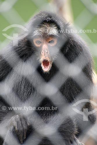 Detalhe de Macaco-aranha-de-cara-branca (Ateles marginatus) no Jardim Zoológico do Rio de Janeiro  - Rio de Janeiro - Rio de Janeiro (RJ) - Brasil