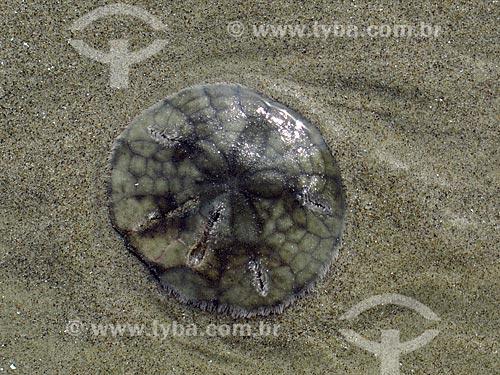 Bolacha-do-mar (Mellita quinquiesperforata) na orla da praia da cidade de Ilha Comprida  - Ilha Comprida - São Paulo (SP) - Brasil