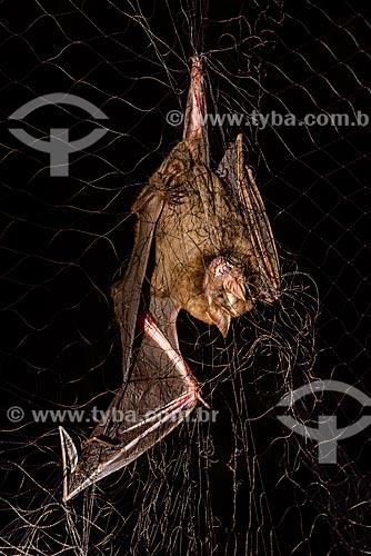 Detalhe de morcego (Chiroderma doriae) preso em armadilha na Reserva Ecológica de Guapiaçu  - Cachoeiras de Macacu - Rio de Janeiro (RJ) - Brasil