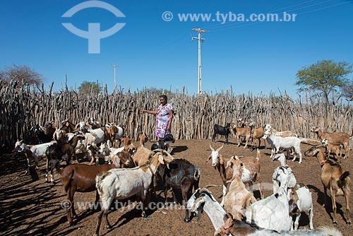 Criação de cabra (Capra aegagrus hircus) na Aldeia Travessão de Ouro - Tribo Pipipãs  - Floresta - Pernambuco (PE) - Brasil