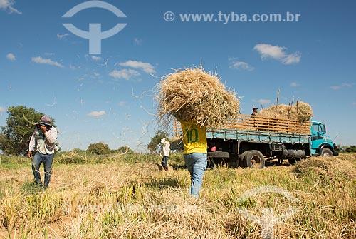 Índios Truká recolhendo palha da plantação de arroz para alimentar gado - zona rural da Tribo Truká  - Cabrobó - Pernambuco (PE) - Brasil