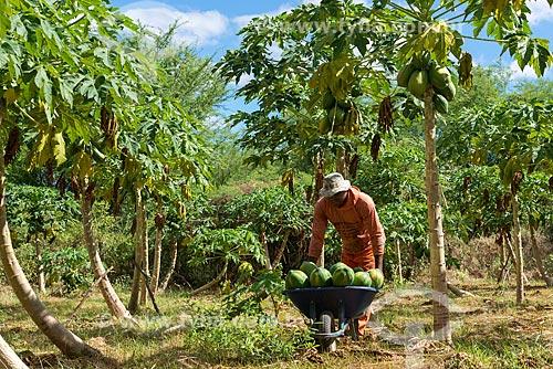 Colheita de mamão na zona rural da Tribo Truká  - Cabrobó - Pernambuco (PE) - Brasil