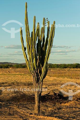 Detalhe de mandacaru (Cereus jamacaru) durante o pôr do sol  - Cabrobó - Pernambuco (PE) - Brasil