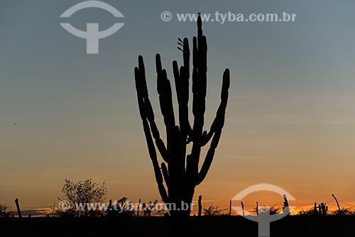 Detalhe de silhueta de mandacaru (Cereus jamacaru) durante o pôr do sol  - Cabrobó - Pernambuco (PE) - Brasil