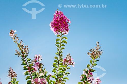 Detalhe de flor da extremosa (Lagerstroemia indica) - também conhecida como escumilha e resedá  - Guarani - Minas Gerais (MG) - Brasil