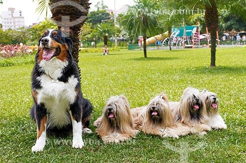 Detalhe de cão da raça Boiadeiro de Berna e cães da raça Shih Tzu  - Belo Horizonte - Minas Gerais (MG) - Brasil