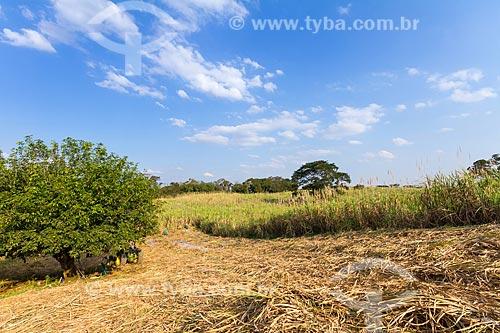Colheita de cana-de-açúcar para a produção de cachaça  - Guarani - Minas Gerais (MG) - Brasil
