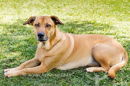 Detalhe de cão sem raça definida  - Belo Horizonte - Minas Gerais (MG) - Brasil