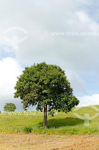 Sapucaia (Lecythis pisonis) na zona rural da cidade de Guarani  - Guarani - Minas Gerais (MG) - Brasil