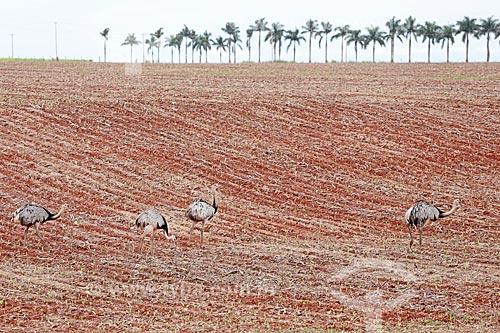Ema (Rhea americana) andando em campo de Soja após colheita  - Itiquira - Mato Grosso (MT) - Brasil