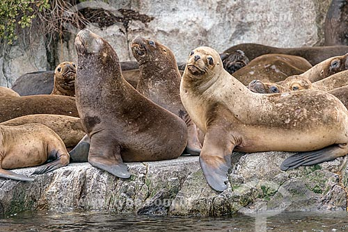 Detalhe de bando de Leão-marinho-da-patagônia (Otaria flavescens)  - Província Terra do Fogo - Chile