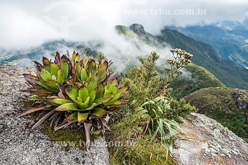 Detalhe de bromélia no Pico da Caledônia no Parque Estadual dos Três Picos  - Nova Friburgo - Rio de Janeiro (RJ) - Brasil