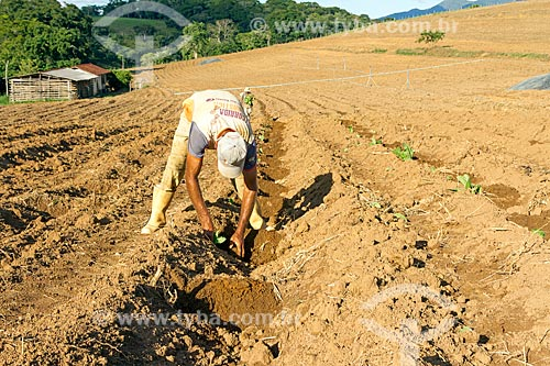 Trabalhador rural plantando mudas de fumo  - Guarani - Minas Gerais (MG) - Brasil