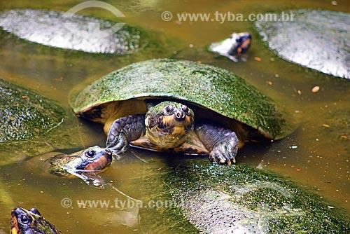 Tartaruga  - Pará (PA) - Brasil