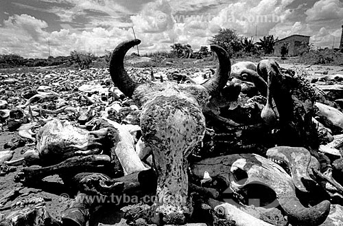 Esqueletos de gado no cemitério da cidade de Canudos  - Canudos - Bahia (BA) - Brasil