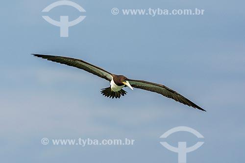 Detalhe de atobá-pardo (Sula leucogaster) voando na Praia da Barra da Tijuca  - Rio de Janeiro - Rio de Janeiro (RJ) - Brasil