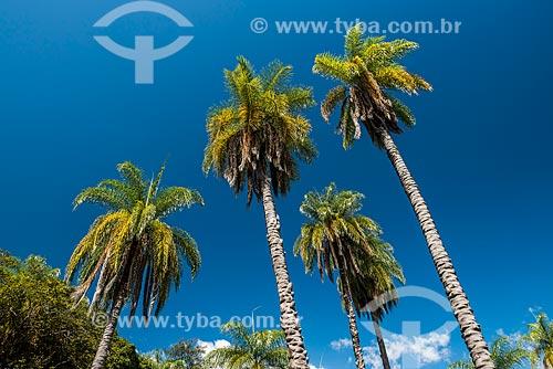 Macaúba (Acrocomia aculeata) na Serra do Cipó  - Santana do Riacho - Minas Gerais (MG) - Brasil