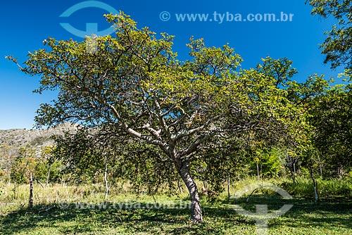 Detalhe de mangabaeira (Hancornia speciosa) na Serra do Cipó  - Santana do Riacho - Minas Gerais (MG) - Brasil