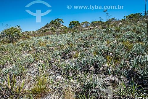 Vista da vegetação de canela-de-ema (Vellozia squamata)  - Santana do Riacho - Minas Gerais (MG) - Brasil