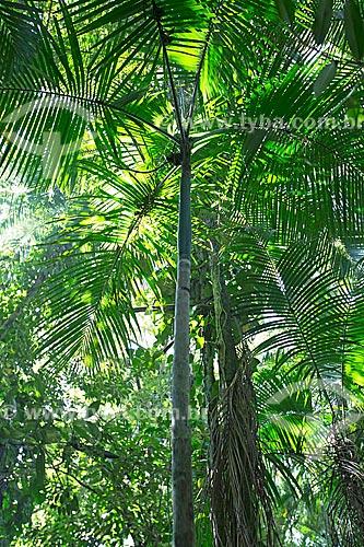 Içara (Euterpe edulis Martius) - também conhecida como juçara, jiçara ou palmito-juçara - no Jardim dos Hemerocallis na Agrícola da Ilha  - Joinville - Santa Catarina (SC) - Brasil